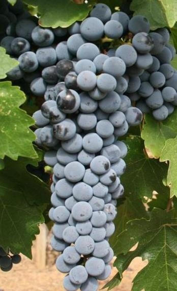 Red_Mountain_Cabernet_Sauvignon